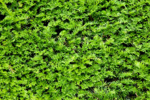 Welche Heckenpflanze Ist Fur Ihren Garten Die Richtige