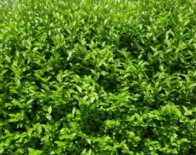 Grüne Heckenpflanze