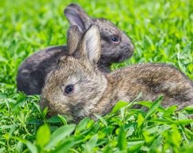 Graue Kaninchen in grünem Gras