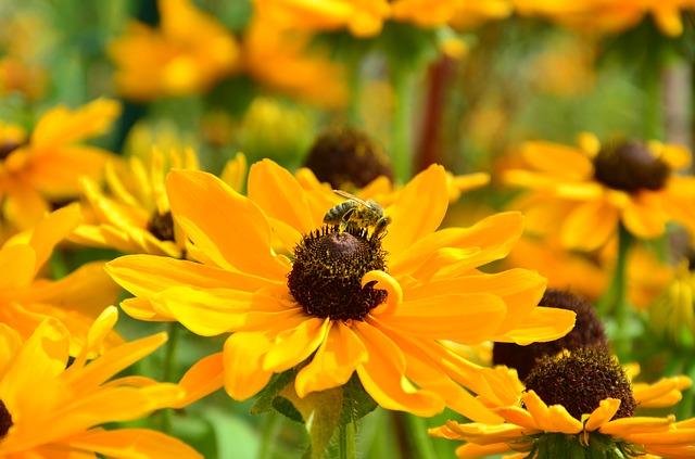 Sonnenbraut als bienenfreundliche Pflanze