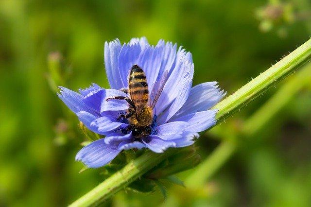 Wegwarte als bienenfreundliche Pflanzen