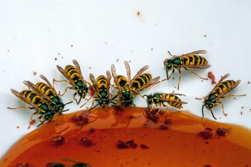 Wespen im Sommer