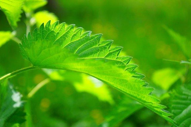 Schädlinge im Garten - Brennnesseln können helfen